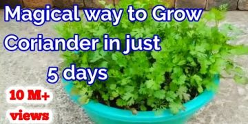 Magical way to Grow Coriander within ? Day's at Home /How to grow Coriander at home 15