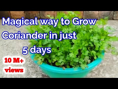 Magical way to Grow Coriander within ? Day's at Home /How to grow Coriander at home 1