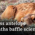 Mysterious disease killed 90% of Saiga antelope in Central Kazakh Steppe | Global Ideas