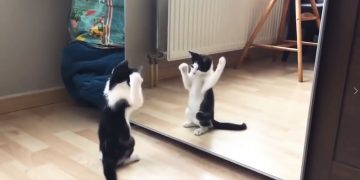 Cat and Mirror 1