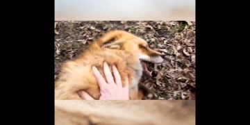 Ever seen foxes laugh? Well now you have! 13